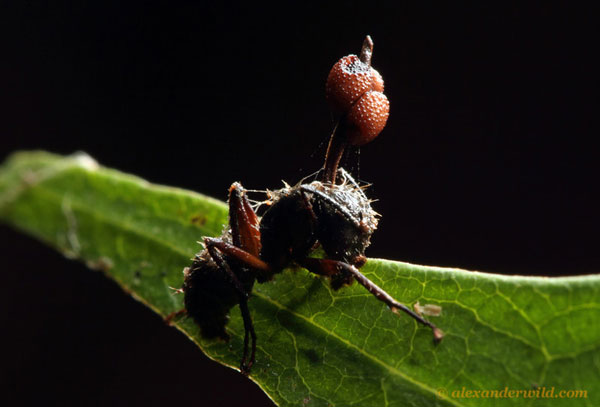 Nấm thây ma Ophiocordyceps