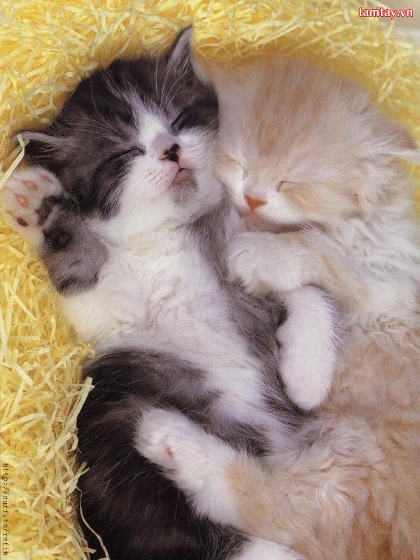 Những chú mèo nhỏ dễ thương | Ảnh mèo dễ thương | mèo xinh (4)
