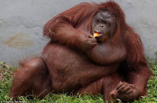 Tinh tinh ở một vườn thú tại Jakarta, Indonesia hạ nhiệt bằng kem