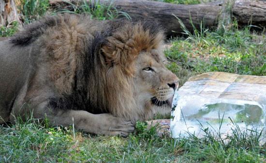 Con sư tử châu Phi tại vườn thú Brookfield ở Chicago (Mỹ) được tặng cả một tảng đá lạnh