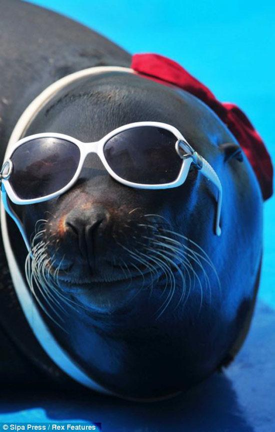 Nhân viên vườn thú đeo kính râm cho sư tử biển.