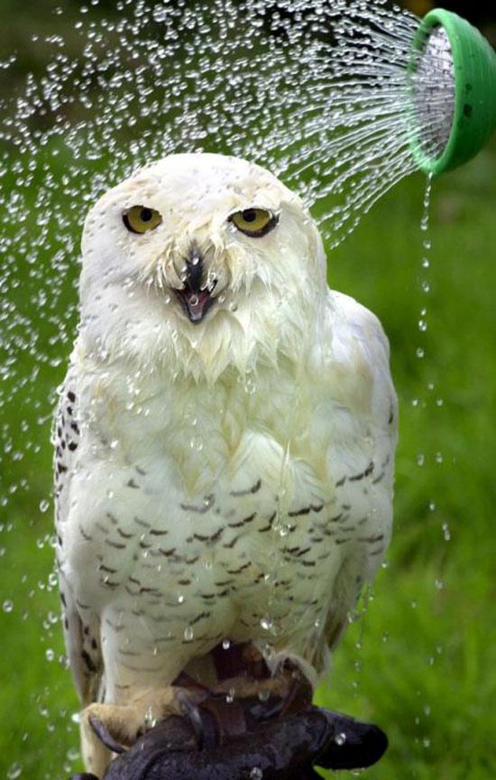Vòi nước mát xả liên tục vào người con cú ở Hampshire (Anh).