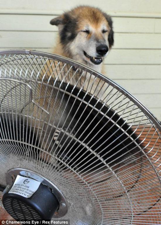 Quạt mát cho chó.