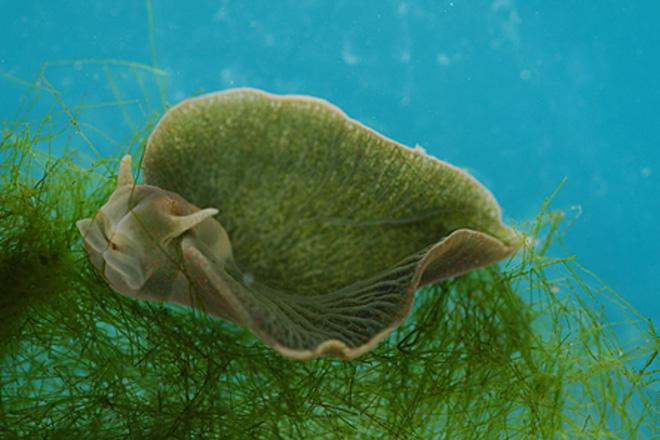 Loài ốc sên biển có khả năng quang hợp