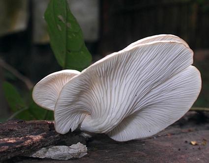 Nấm hoàng bạch tại VQG Cát Tiên (ảnh do VQG Cát Tiên cung cấp)