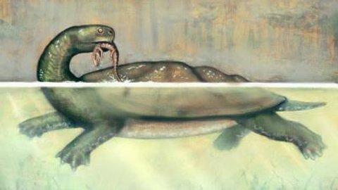 Loài rùa C.cofrinii có thể to cỡ một chiếc ô tô với phần mai lớn bằng một bể bơi trẻ em.