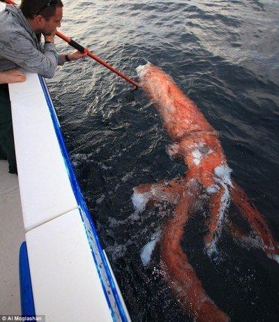 Thân của con mực khổng lồ này dài khoảng 3m