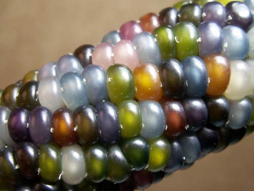 Những hạt ngô tuyệt đẹp trông như những viên đá quý