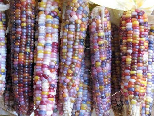 Mỗi bắp ngô sẽ cho ra các màu sắc khác nhau.