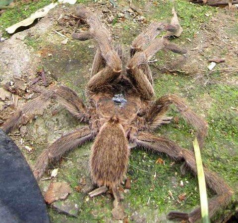 Phần bụng của con nhện khổng lồ. Ảnh: Bá Hạnh.