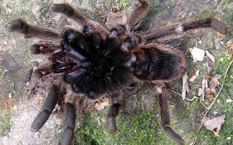 Con nhện mới phát hiện có chiều dài thân lên tới 6cm. Ảnh: Bá Hạnh