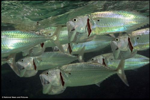 Loài cá bạc má (5)