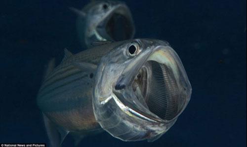 Loài cá bạc má (2)