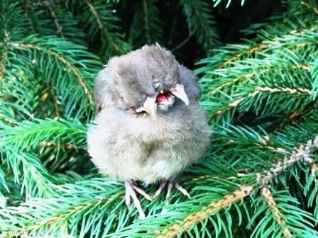 Bất ngờ phát hiện thấy chim có 2 đầu và 3 mỏ