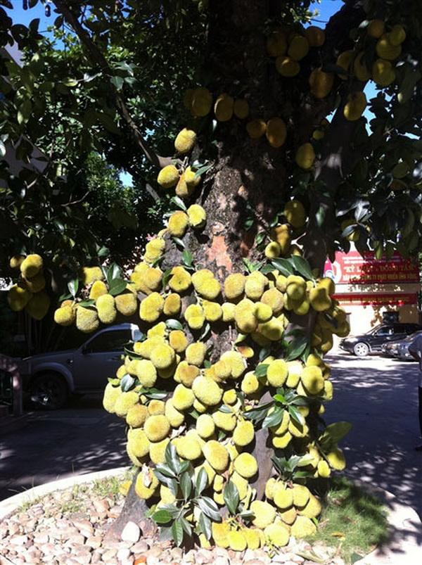 Ấn tượng với cây mít chi chít quả ở Quảng Ninh (6)