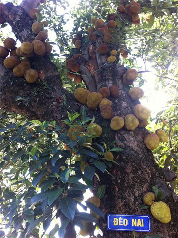 Ấn tượng với cây mít chi chít quả ở Quảng Ninh (5)