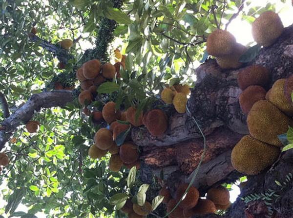 Ấn tượng với cây mít chi chít quả ở Quảng Ninh (4)