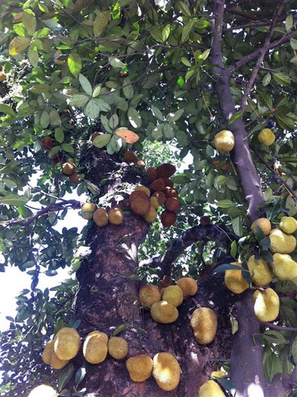 Ấn tượng với cây mít chi chít quả ở Quảng Ninh (3)