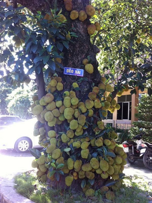 Ấn tượng với cây mít chi chít quả ở Quảng Ninh (1)