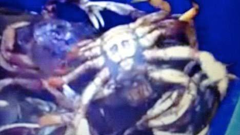 Con cua có yếm giống hình mặt trùm khủng bố Bin Laden