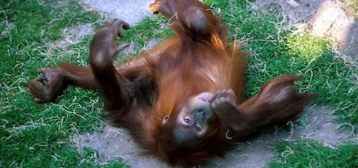 """Sau khi """"đánh chén"""" quả Marula thỏa thê, chú khỉ """"nằm vật ra đất"""" thế này đây!"""