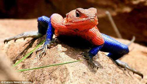 Con thằn lằn có màu sắc giống hệt Người nhện.