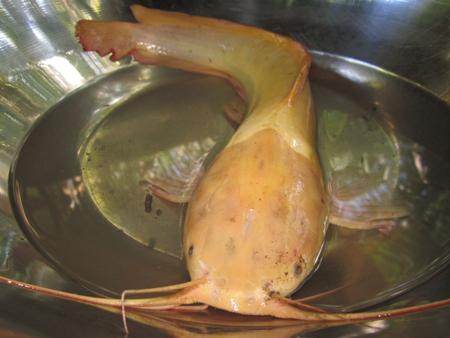 Bắt được cá trê có màu vàng lạ | Chuyện lạ Việt Nam (2)