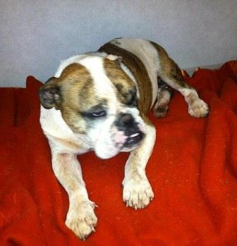 Chú chó đáng thương bị lông nhím phủ kín mặt (1)