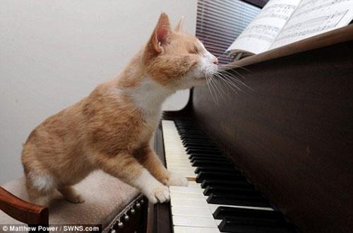 Chú mèo mù mê đàn Piano