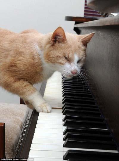 Chú mèo mù mê đàn piano (3)