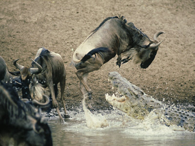 deeble-stone-nile-crocodile-attacks-wildebeest-serengeti-tz
