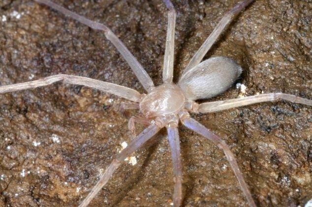 Loài nhện không có mắt Sinopoda scurion được phát hiện tại Lào