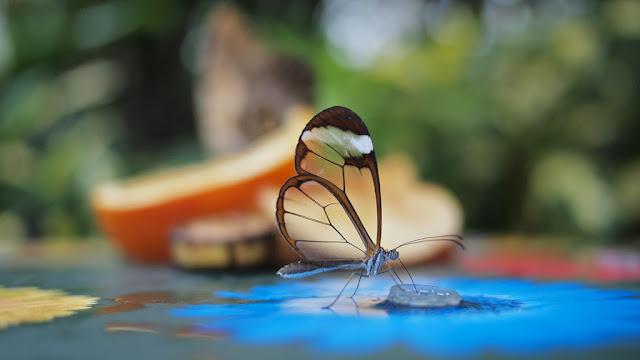 Loài bướm cánh trong suốt tuyệt đẹp - Ảnh Swamibu
