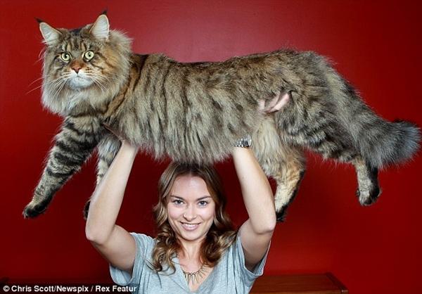 """Chú mèo Rupert nặng 9kg và có bộ lông cực """"hoành tá tràng""""."""