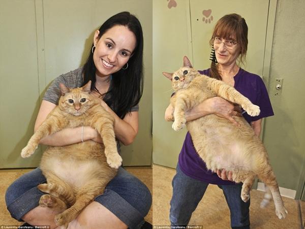 Chú mèo Bob nặng 15kg, tương đương 1 đứa trẻ 4 tuổi.