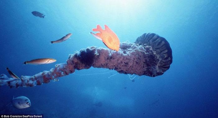 Bên trong những chiếc xúc tua của con sứa khổng lồ là nơi trú ẩn của loài cá nhỏ