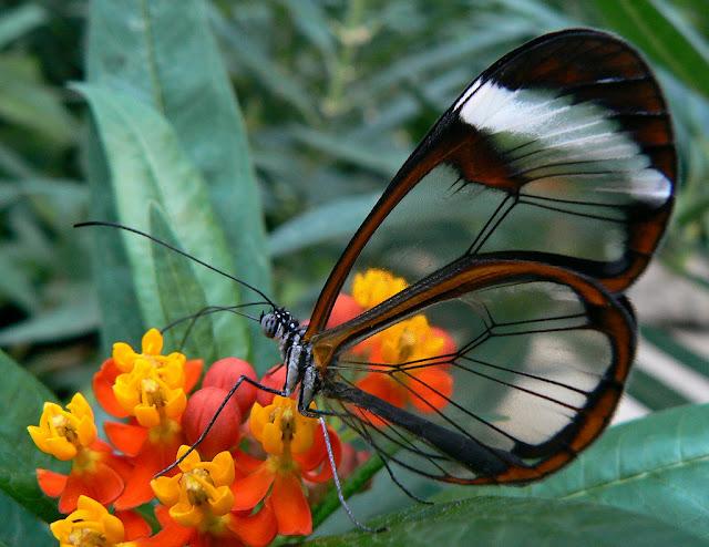 Loài bướm Greta oto cánh trong suốt - ảnh  Eddy Van