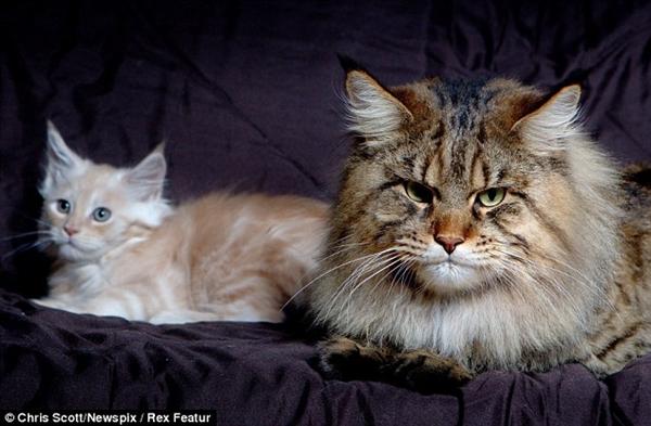 Chú mèo này lớn gấp 3 lần kích cỡ các chú mèo bình thường.khác