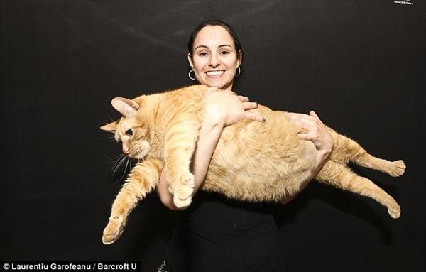 Chú mèo nặng bằng đứa trẻ 4 tuổi
