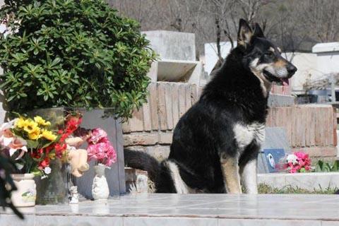 Mới đây nhất là hình ảnh con chó Capitán ở thị trấn nhỏ Villa Carlos Paz, Argentina thu hút hàng triệu người theo dõi trên Youtube và Facebook. Chủ nhân con chó là ông Miguel Guzmán mất đột ngột, nó đã bỏ nhà đi đến nghĩa trang và ở bên cạnh mộ ông suốt 6 năm qua. Ảnh: La Voz.