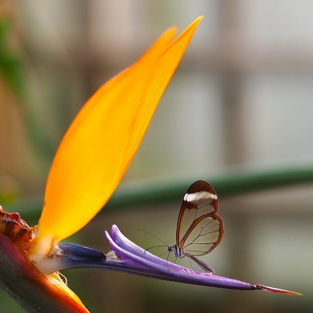 Loài bướm Greta oto cánh trong suốt - ảnh Swamibu