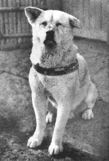 Câu chuyện cảm động về Capitán nói trên, làm gợi nhớ đến hình ảnh chó Hachiko. Năm 1924, một giáo sư người Nhật là Hidesaburo Ueno mua nó. Ông đưa nó đến sống ở Tokyo và trở thành đôi bạn thân thiết. Hàng sáng, Hachiko đưa ông Hidesaburo tới tận nhà ga Shibuya nơi ông làm việc và đón ông về vào cuối ngày. Tháng 5/1925, ông Hidesaburo bị nhồi máu cơ tim đột ngột và mất tại nơi làm việc, vĩnh viễn ông không còn trở về nhà. Nhưng như thường lệ ngày nào Hachiko cũng tới ga để đón ông chủ của mình nhưng đợi mãi vẫn không thấy ông đâu. Hành động của nó cứ lặp đi lặp lại đều đặn trong suốt 10 năm. Ảnh: Wikipedia.