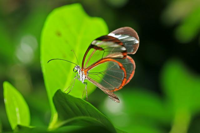 Loài bướm cánh trong suốt tuyệt đẹp - Ảnh David Fre