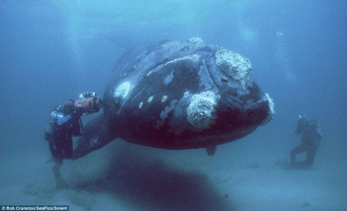 Loài cá voi quý hiếm tại biển Patagonia, Argentina, Đại Tây Dương