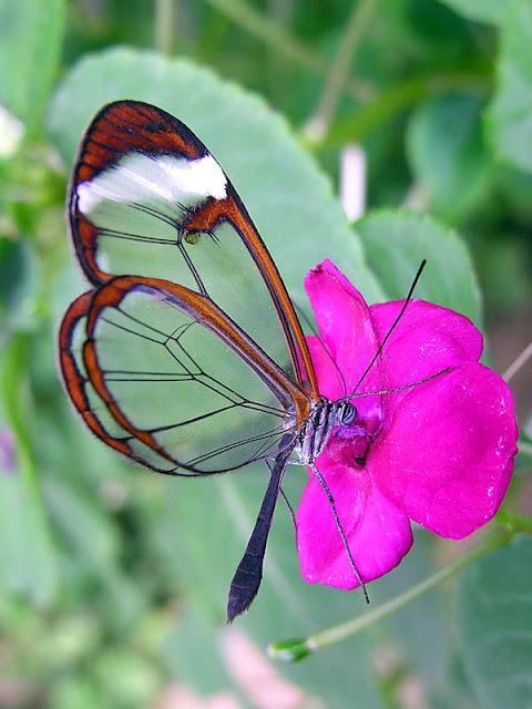 Loài bướm cánh trong suốt tuyệt đẹp - Ảnh butterflies.co.za