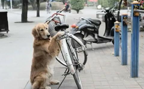 """Con chó Li li của ông Luo Wencong, ở Nam Kinh, Trung Quốc nhận nhiệm vụ trông xe khi ông đi chợ, Li li còn có thể """"xách"""" túi cho chủ nhân. Vị chủ nhân cho biết có người đã đề nghị mua Li li với số tiền 10.000 nhân dân tệ nhưng ông từ chối. Ảnh: Youtube."""