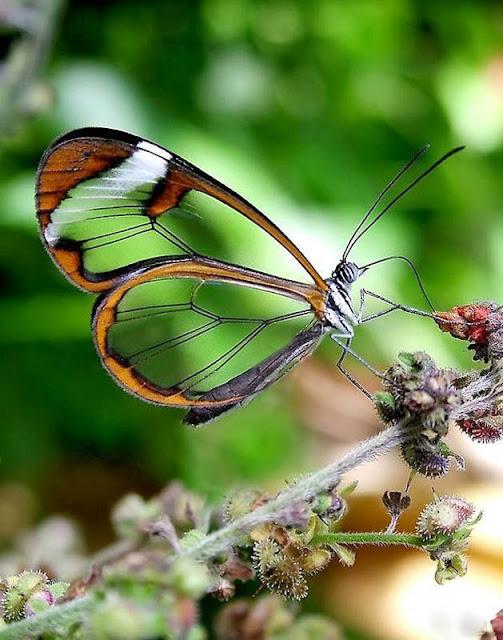 Loài bướm cánh trong suốt tuyệt đẹp - Ảnh Imgur