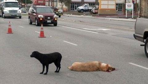 Một con chó giống Labrador ở Mỹ khiến người qua đường cảm động khi nó bất chấp nguy hiểm nằm bảo vệ xác bạn nó nhiều giờ trên xa lộ. Bạn của con chó này không may thiệt mạng trong vụ tai nạn giao thông. Chứng kiến cảnh tượng trên, một tài xế đã tìm vật cản báo hiệu cho người lái xe dễ dàng nhìn thấy, để tránh đâm vào chúng. Ảnh: AP.