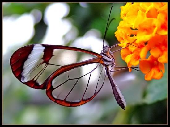 Loài bướm này có sải cánh dài 5.6 tới 6.1 cm (2.2 tới 2.4 in)