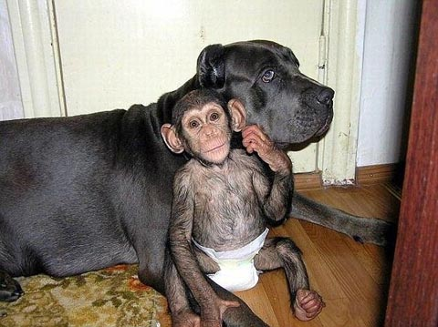 Dù vượn không phải là loài mà chó ưa thích, nhưng khi một nhân viên vườn thú tại Nga đưa con vượn bị mẹ nó bỏ rơi, con chó Bull tai cụp đã chấp nhận nuôi. Bull thậm chí rất quý vượn và thường xuyên chơi đùa và ngủ cùng nhau. Ảnh: Exclusive Pix.